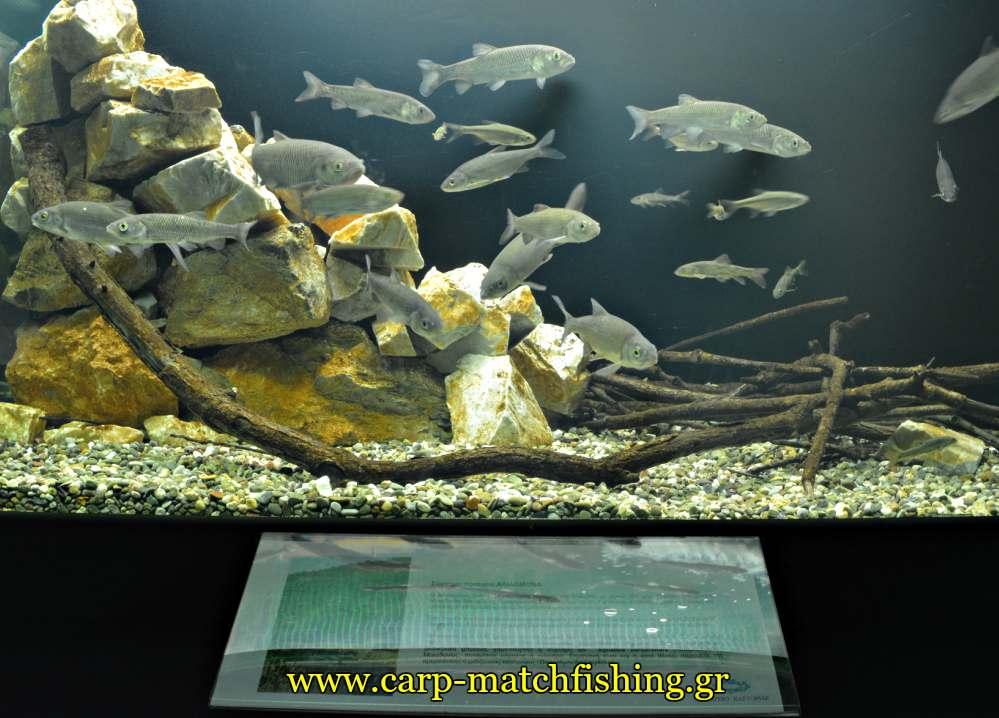 enydreio kastorias aliakmonas carpmatchfishing