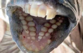 Δείτε το εντυπωσιακό ψάρι με τα ανθρώπινα δόντια (φωτο)